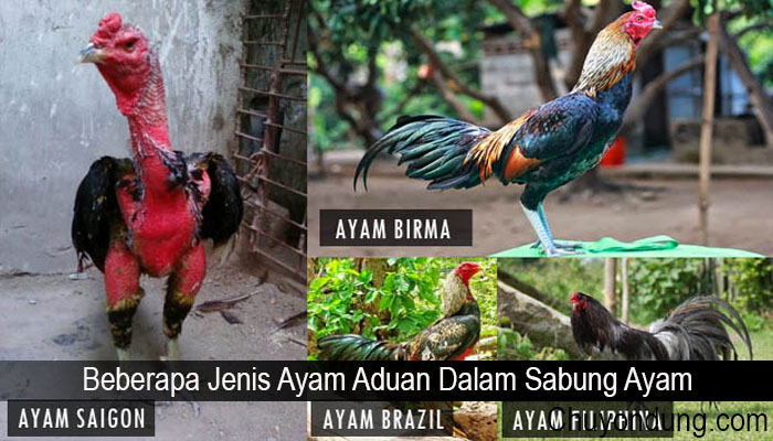 Beberapa Jenis Ayam Aduan Dalam Sabung Ayam